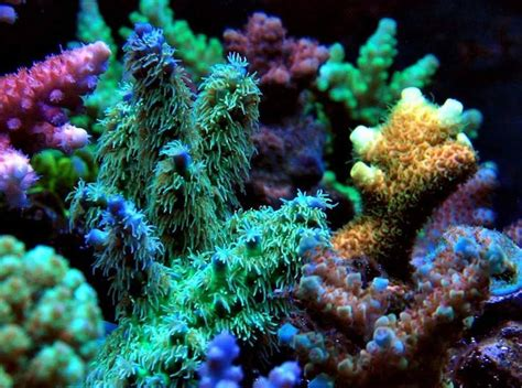 low light corals for sale 148 best images about reef tank sps acros on pinterest