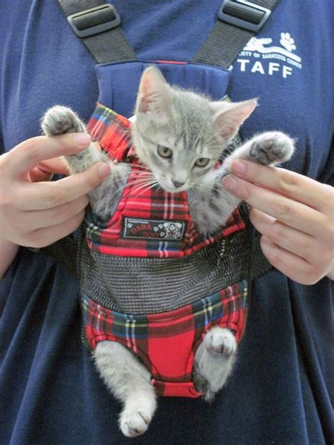 Backpack Baby Cat grey kitten being carried in a cat carrier cat carrier grey kitten