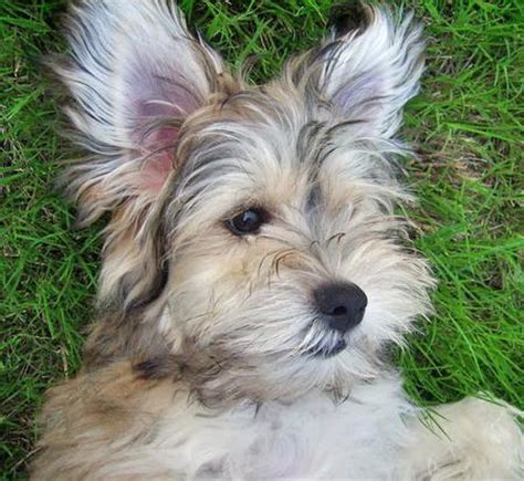 havanese westie mix havanese terrier mix puppies dogs in our photo