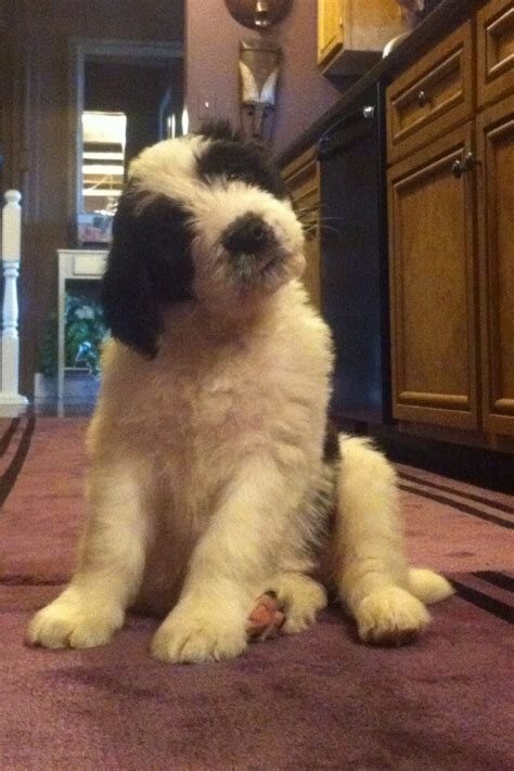 st berdoodle puppies 1000 images about my on