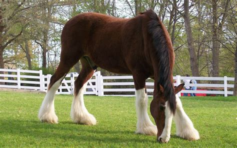 beautiful clydesdale for the love of horses pinterest