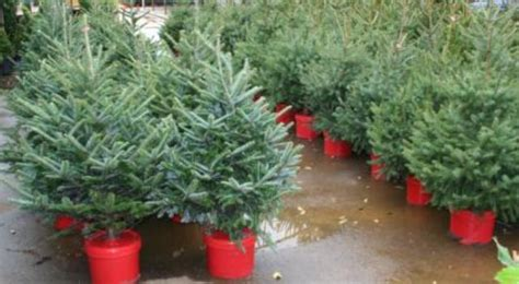 potted christmas trees begin a life of purpose during the