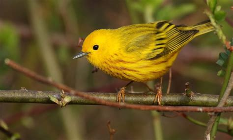 yellow warbler birds of north america online