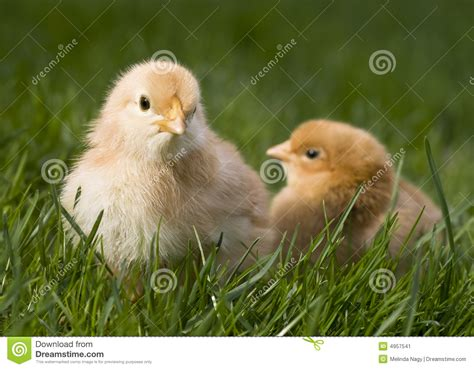 Cute Fluffy Chicken Stock Image   Image: 4957541