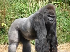 gorilla gorilla amaxing