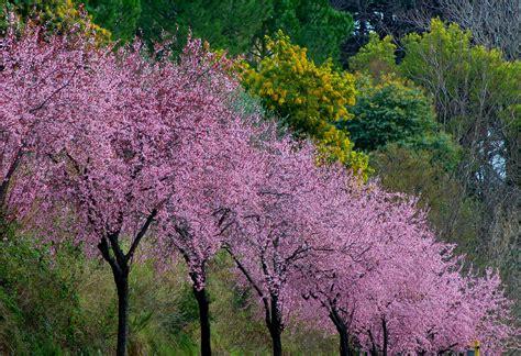 alberi in fiore a primavera pensieri e parole in attesa della primavera