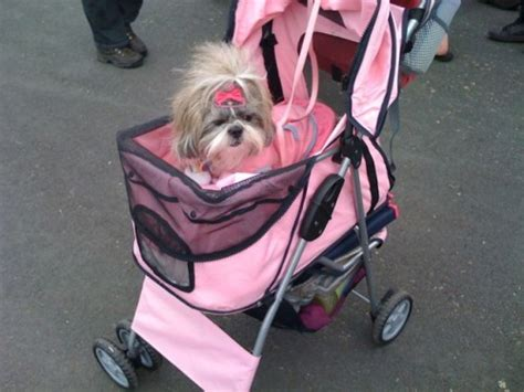 shih tzu hair accessories pink in a pink pram with pink hair accessories had one towards the end it
