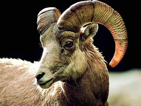goats and rams goat ready to fly again heaven awaits