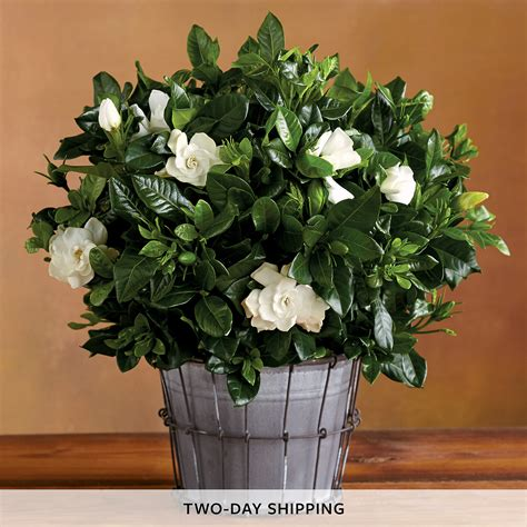 gardenia delivery 6 quot everblooming gardenia flower delivery harry david