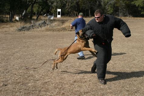 how are k9 dogs trained dual purpose dogs k9 global academy