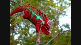 veiled chameleon changing colors chameleon changing color