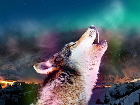 imagenes de lobos en 4k fondos de pantalla de lobos en movimiento fondos de pantalla