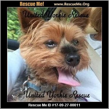 yorkie rescue va west virginia yorkie rescue adoptions rescueme org