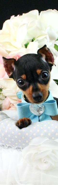 teacup miniature pinscher puppies for sale teacup miniature pinscher