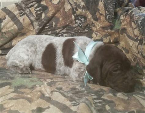 sugarcreek puppies view ad german shorthaired pointer puppy for sale ohio sugarcreek