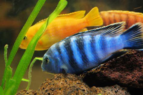 good fresh water aquarium fish