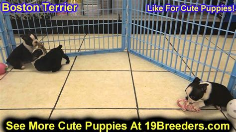 boston terrier puppies for sale in oklahoma boston terrier club of oklahoma city breeds picture