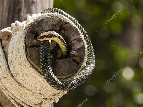 serpente volante serpente dell albero di paradiso o il serpente volante