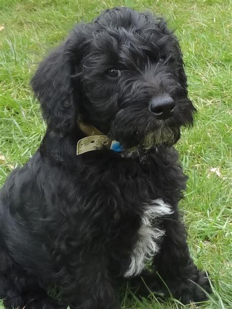 schnoodle puppies rescue newhairstylesformen2014 com puppies for sale miniature schnauzer miniature autos post