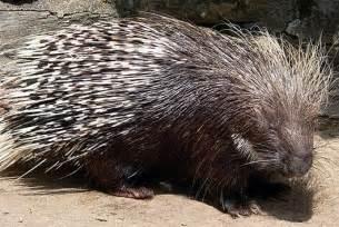 porcupines recipe dishmaps