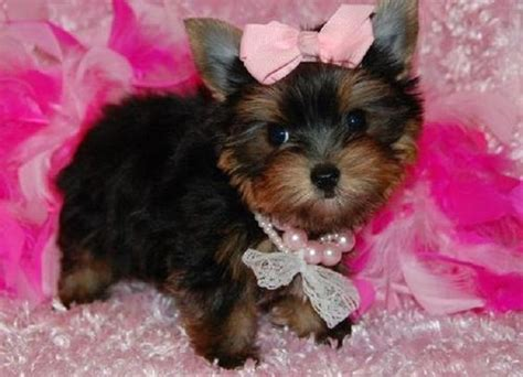 teacup puppies for sale in pa teacup puppies for sale in pa zoe fans baby animals