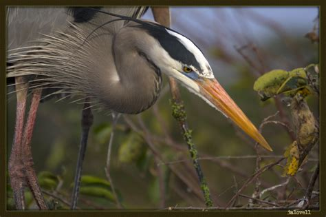 what color is heron dressed for mating colors of the great blue heron