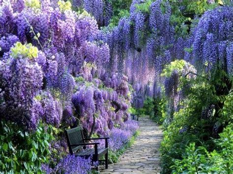blue moon wisteria vine fresh garden decor