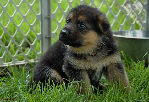 german shepherd puppies cleveland ohio german shepherd puppies ohio breeds picture