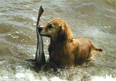 becky golden retrievers an absolutely fetching lass woofie s pet sitters walkers mobile pet spa