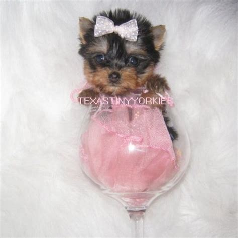 yorkie vs teacup yorkie teacup terrier for sale in dogs in our photo