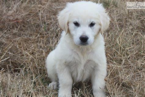 golden retriever puppies huntsville alabama lola golden retriever puppy for sale near huntsville decatur alabama 5652530a dc71