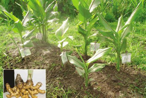 Bibit Tanaman Herbal Temu Lawak soho global health kembangkan temulawak sebagai obat