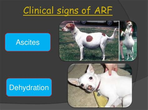 ascites in dogs management of renal disease in