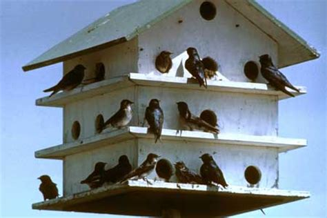 purple martin time in carolinas the edgefield advertiser