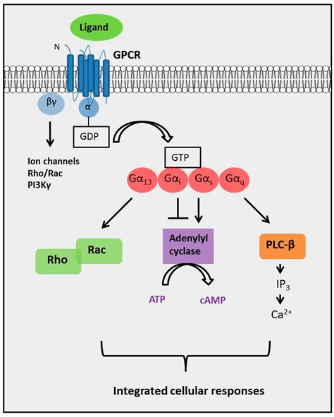 IJMS | Free Full-Text | G Protein-Coupled Receptor ... G Protein Coupled Receptors Pathway