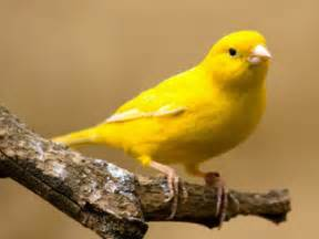 yellow bird dreams meaning dreaming of yellow bird