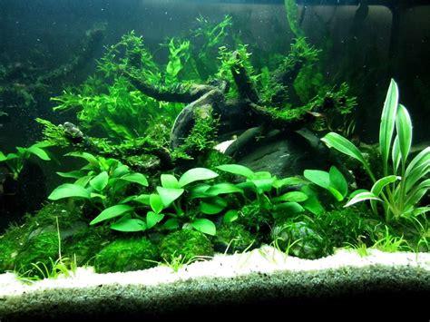 aquascape anubias flora anubias broadleaves anubias nana anubias barteri