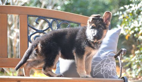 german shepherd puppies for sale in ms german shepherd puppies for sale in dogs our friends photo