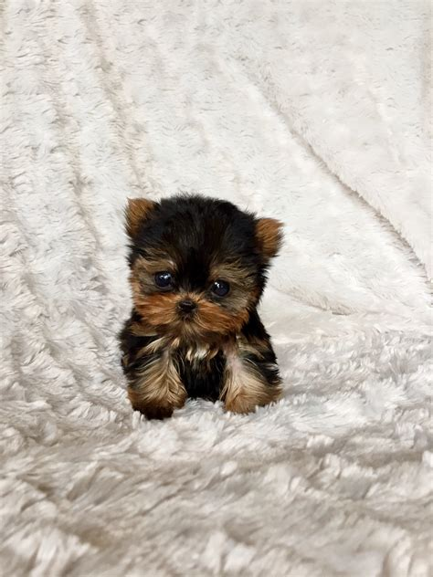 teacup yorkie puppies price range micro teacup yorkie puppy for sale los angeles breeder iheartteacups