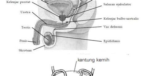 Gelang Terapi Organ Reproduksi Pria organ reproduksi pria dan spermatogenesis materi dan