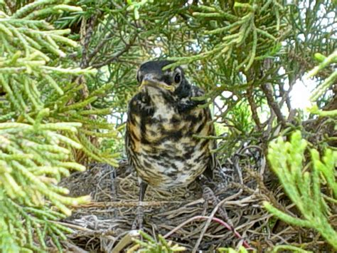 baby robin leaving nest i m not sure if both babies made