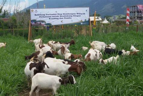 Bibit Kambing Kacang kambing boerka bibit kambing unggulan tipe pedaging republika