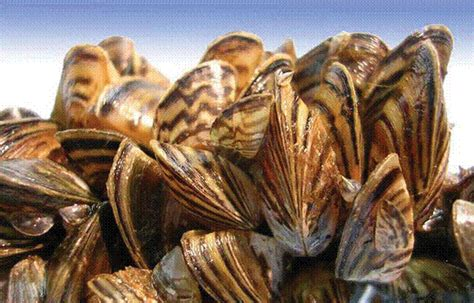 how to remove zebra mussels from a boat zebra mussels what boaters should know bighorn canyon