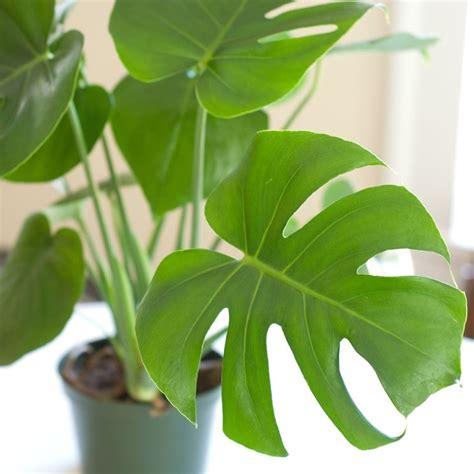 tipi di piante da appartamento il filodendro piante appartamento tipi filodendro