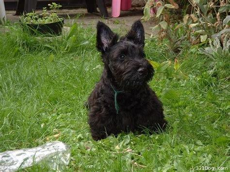 scottish terrier puppies scottish terrier