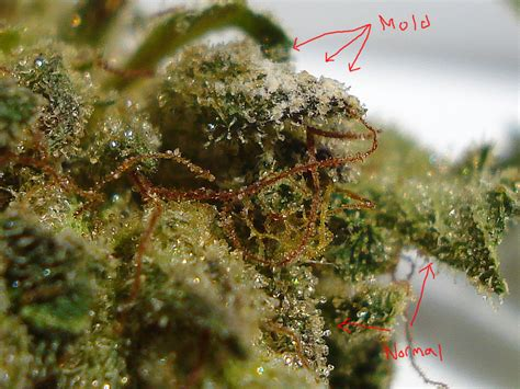 can you grow weed with a black light this is why smoking moldy weed can make you sick