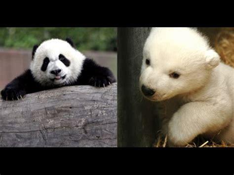 libro panda bear panda bear pandas vs polar bears youtube