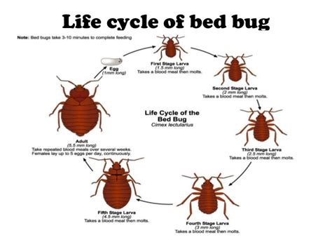 can bed bugs fly entomology louse bedbugs sand fly