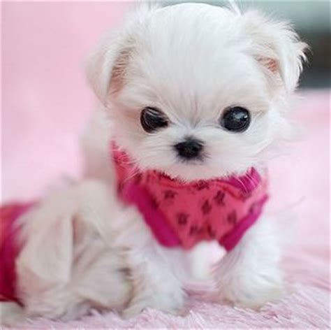real teacup puppies 20 adorable puppies that can fit in your