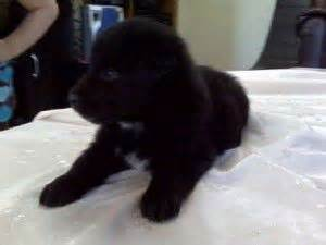 lab chow mix puppies for sale black lab chow mix puppies for sale baby animals for sale labs